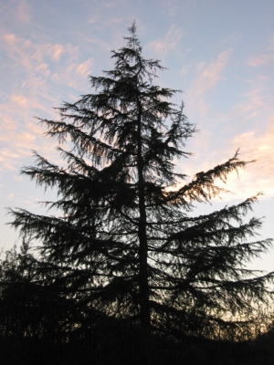 The Deodar Cedar, considered sacred in the Indian subcontinent and the national tree of Pakistan.