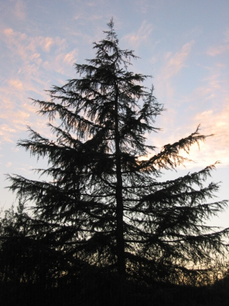 Cedrus deodara, or the Deodar Cedar. Native to the Western Himalayas, the tree is considered sacred in the Indian subcontinent, and is the national tree of Pakistan.