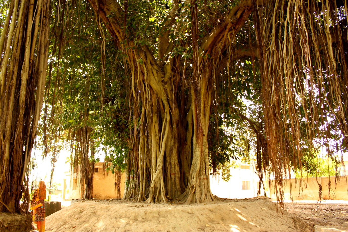 banyan tree case
